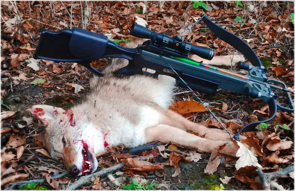 Coyote Crossbow Hunting